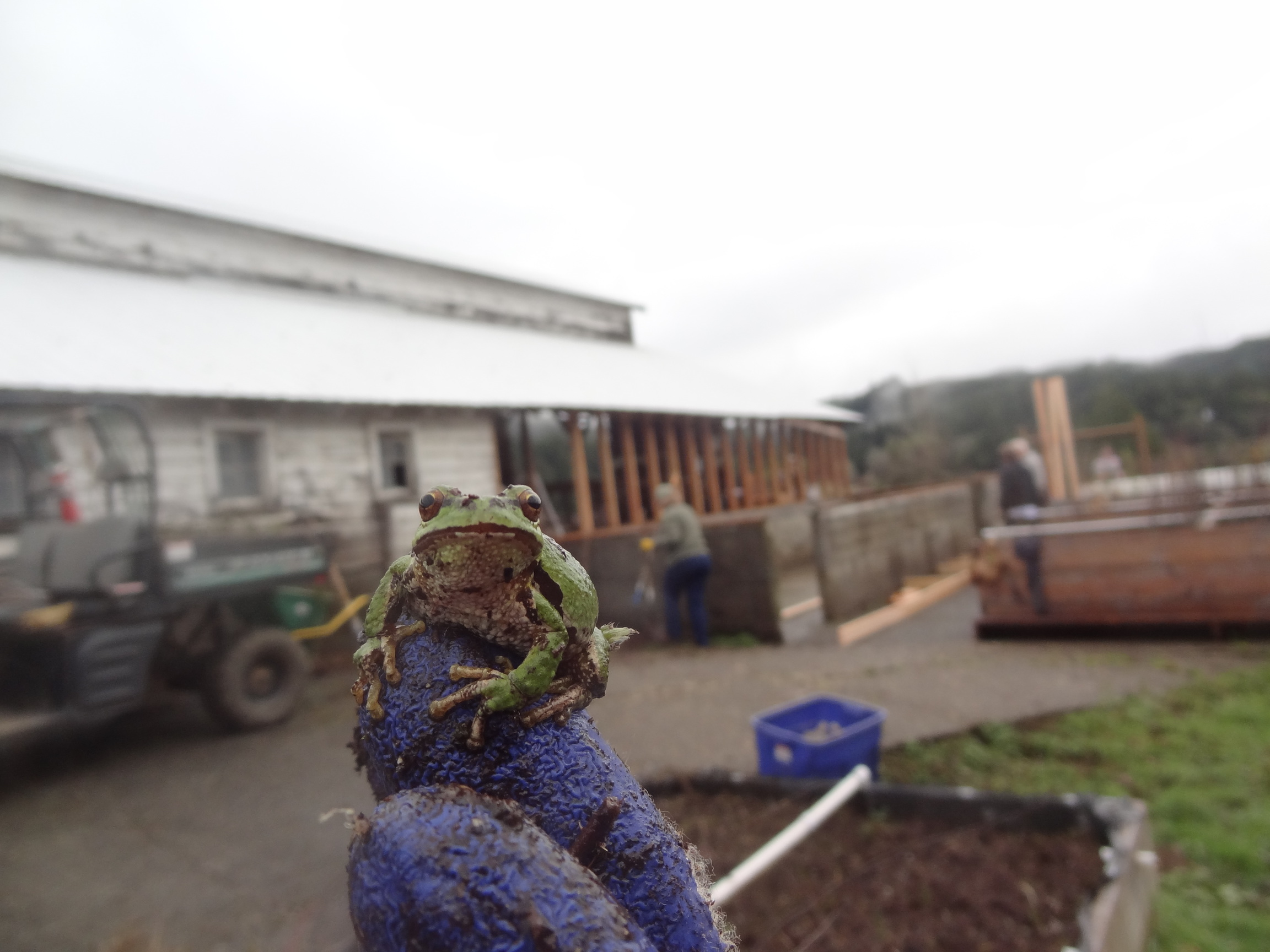 Matson tree frog greenhouse construction 2016JPG